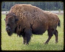 Dodge the Buffalo