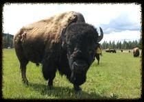 Dude Buffalo Bull