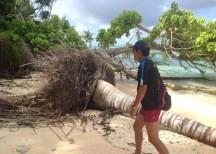 海岸浸食により倒れたヤシの木