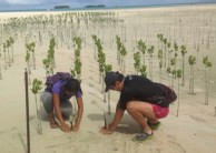 マングローブ植林