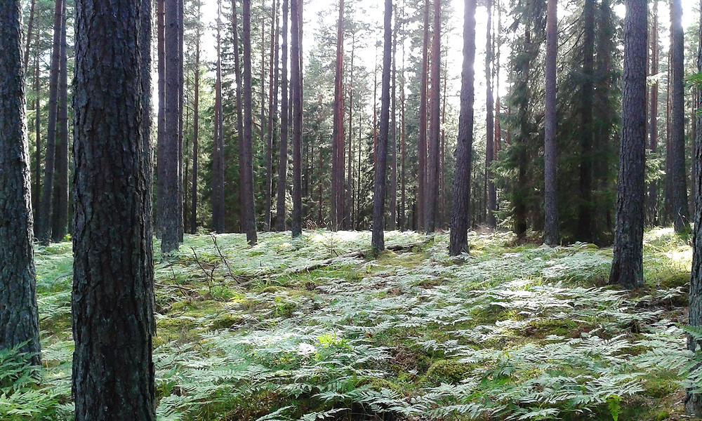 Forest around Smedsdorf
