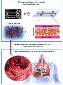 Fig. 1 A human 3D vascularized organotyp