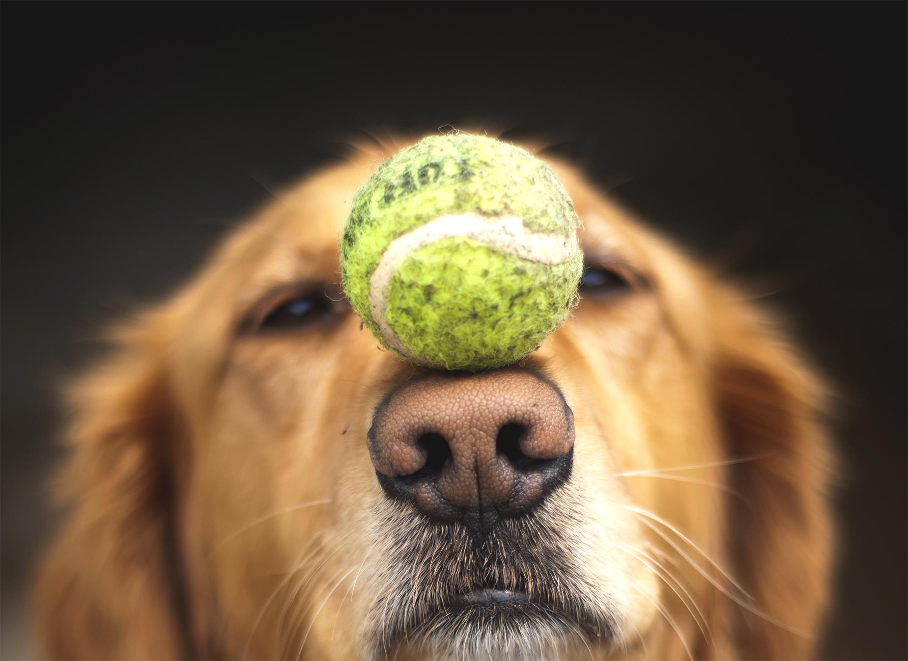 dog-tennis-ball