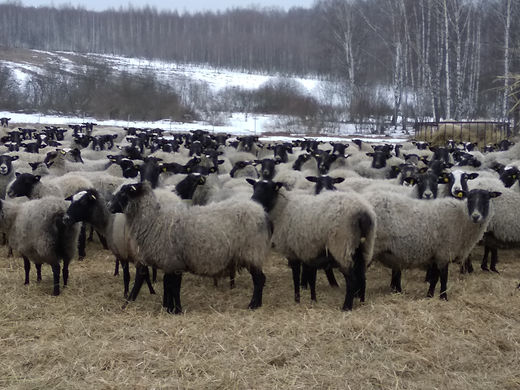 взрослая овца.jpg