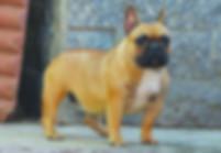 bouleoguefrancese,tanabulldog,allevamento,cani,bulldog,cuccioli,italia,lombardia,gropellocairoli,allevatori,enci,pedigree,pensione,cane,razza,expo,andreatana,tana,subito,vendesi,cedo