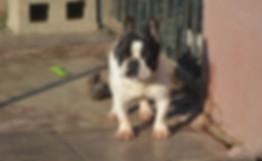 DecimoTanaBulldog16.JPG
