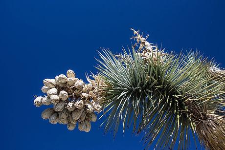 Joshua Tree-4.jpg