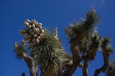 Joshua Tree-3.jpg