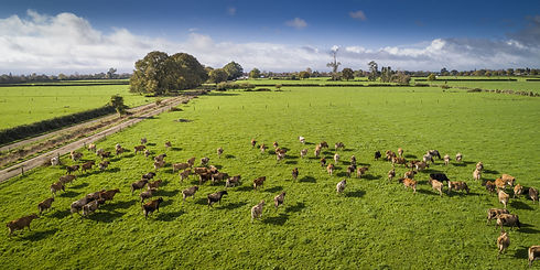 Our jersey herd roam freely on our farm, living a care free life
