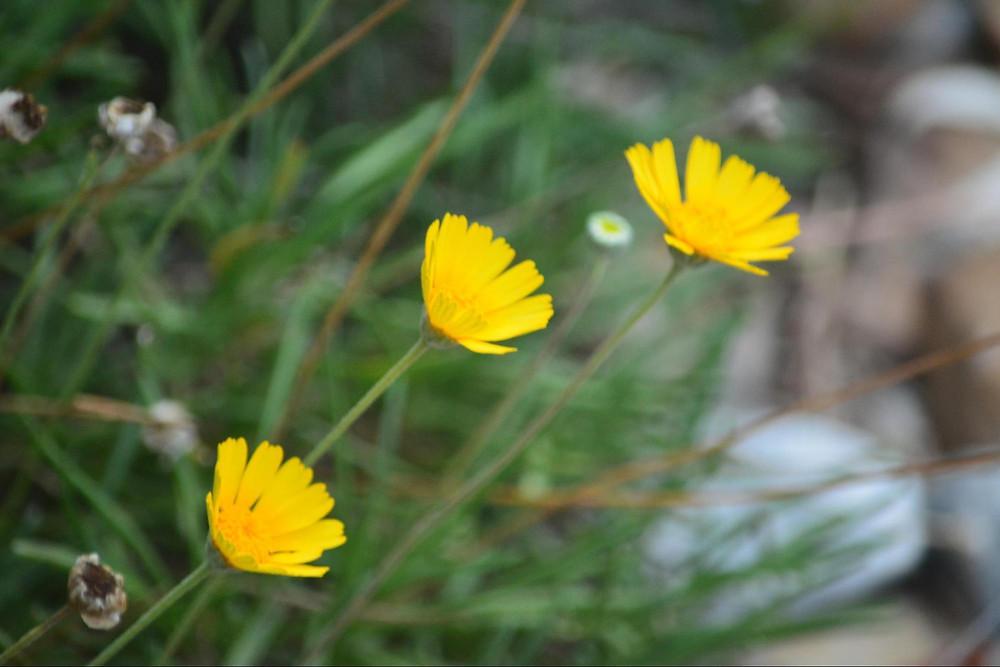 Four-Nerve Daisy (tetraneuris scaposa)