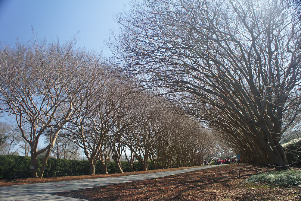 Happy and safe Crape Myrtles at Dallas Arboretum