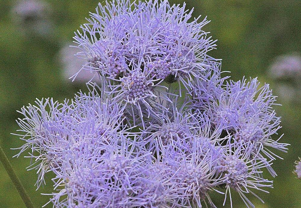 Gregg's Mistflower (conoclinium greggii)