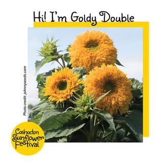 Hi I'm Sunflower Template_GoldyDouble.jp