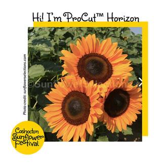 Hi I'm Sunflower Template_ProCutHorizon.