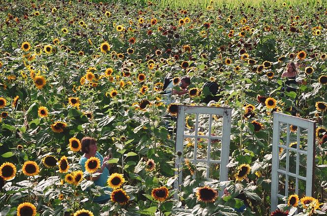 resized_lots of people in sunflower fiel