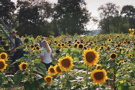 resized_group exploring sunflowers by st