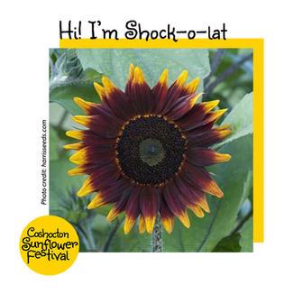 Hi I'm Sunflower Template_Shok-o-lat.jpg