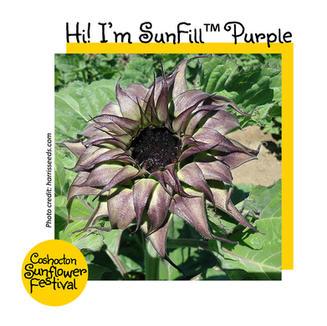 Hi I'm Sunflower Template_Sunfill Purple