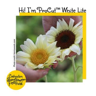 Hi I'm Sunflower Template_ProCutWhiteLit