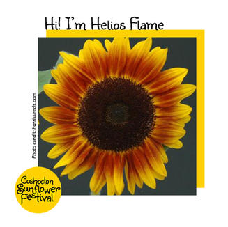 Hi I'm Sunflower Template_HeliosFlame.jp