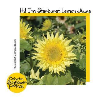 Hi I'm Sunflower Template_StarburstLemon