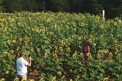 resized_couple in sunflower field taking