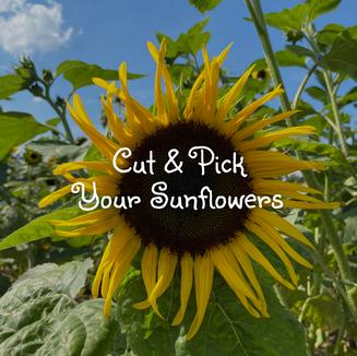 Coshocton Sunflower Festival
