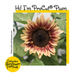 Hi I'm Sunflower Template_ProCut Plum.jp