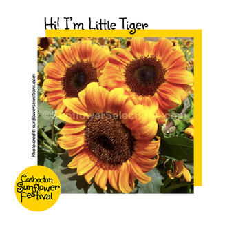 Hi I'm Sunflower Template_LittleTiger.jp