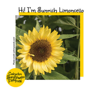 Hi I'm Sunflower Template_Sunrich Limoce