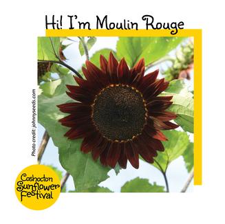 Hi I'm Sunflower Template_Moulin Rouge.p