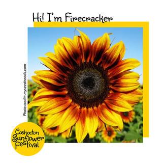 Hi I'm Sunflower Template_Firecracker.jp