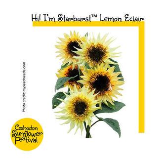Hi I'm Sunflower Template_Starburst Lemo