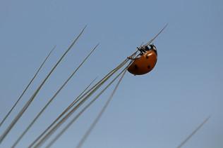 חיפושית אדומה