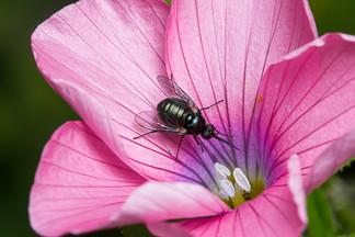 זבוב על פרח