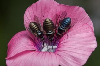 שלושה זבובים