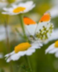פרפר ירוק פסים על פרח לבן, כחוון