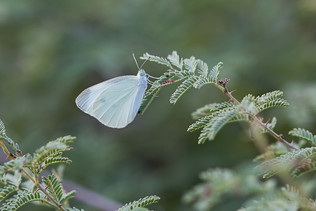 פרפר לבן