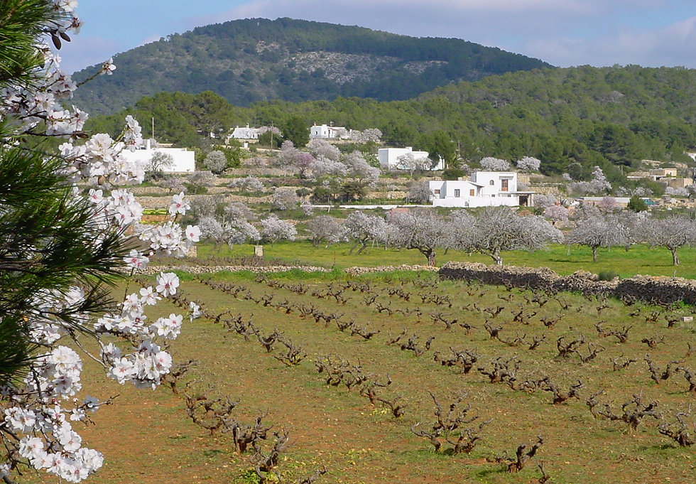 Vines and almonds - Sta Ines 2006.jpg