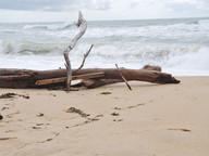 Bois de plage Iles-de-la-Madeleine