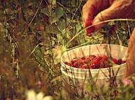Petits fruits Iles-de-la-Madeleine