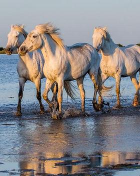 chevaux-camargue-istock-gudkov-andrey.jp
