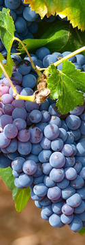 vigne-162659.jpg