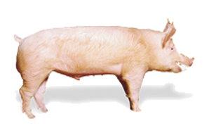 Для откорма свиней до жирных кондиций