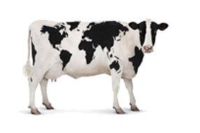 Комбикорм для дойных коров и нетелей