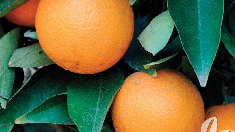 Olinda Orange