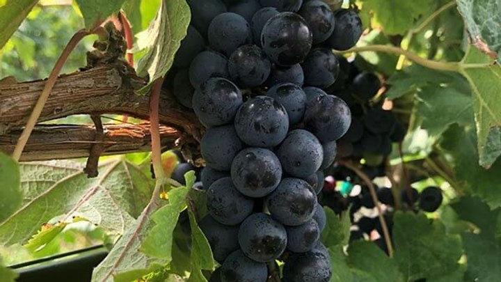 Grape Merlot