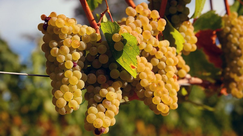 Grape Chardonnay