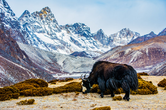 The Solitary Yak, Nepal - March 2019