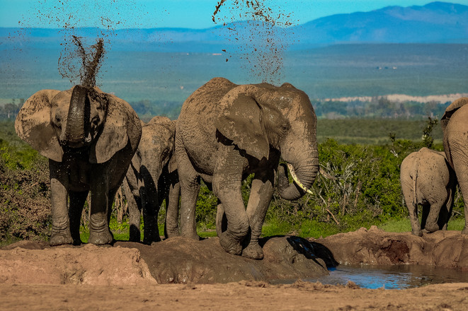 Wild Elephants in South Africa - 2005